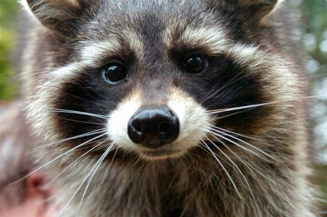 Oreo the raccoon, the real life inspiration for Rocket Raccoon
