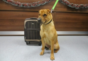 Someone Left This Very Sad Dog At The Train Station With Only A Suitcase Full Of His Belongings