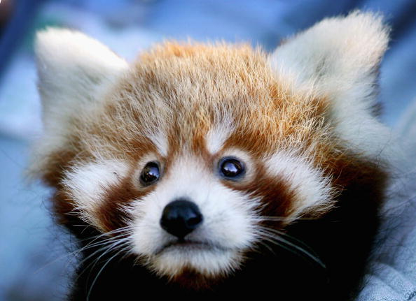 Red Panda Cubs Unveiled At Taronga Zoo