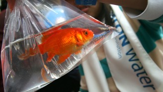 Should Goldfish Racing Be The Next Big Thing In Bar Entertainment?