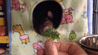 This Discerning Rat Hates Broccoli Even More Than You Do
