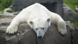 Polar Bear Penis Bones Are Snapping All Over The Arctic Thanks To Pollution