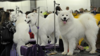 An Investigation: Was A Show Dog Murdered At The 2013 Westminster Dog Show?