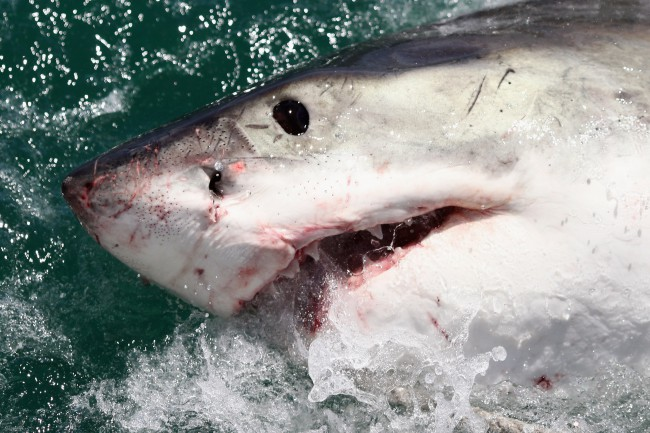 Cage Diving With Great White Sharks In South Africa