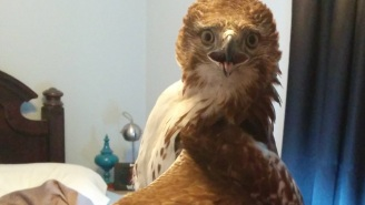 Meet The '*sshole' Hawk That Crashed Through A Bedroom Window And Pooped Everywhere