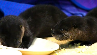 These Baby Otters Enjoy The Heck Out Of Some Scrambled Eggs After Being Rescued