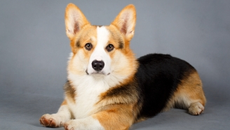 Guys, The Corgi Shortage In The United Kingdom Is Getting Seriously Serious