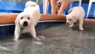 Check Out These Adorable Golden Retriever Puppies Learning How To Swim