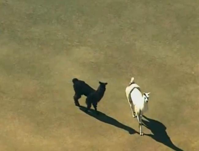 Llama Chase