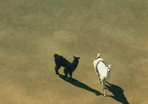 The USDA Won't Let The Runaway Llamas Become Celebrities