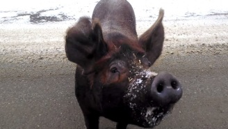 A Man In Northern Maine Pulled Over And Had A Conversation With A Loose Pig