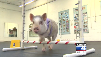 Peak Local News: A 5-Month-Old Pig Is Taking An Agility Class For Dogs