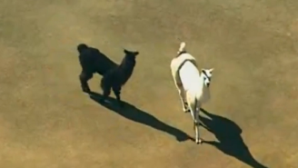 These Runaway Llamas Took Over Twitter And Nearly Broke The Internet
