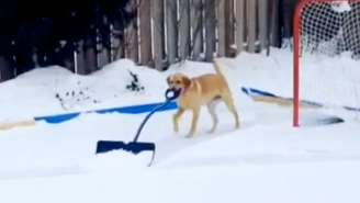 Would You Like To See A Dog Shoveling Snow? Because Here Is A Dog Shoveling Snow.
