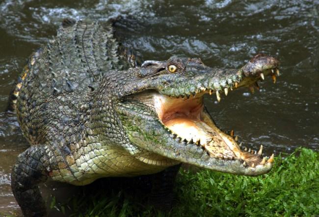 crocodile-drugs