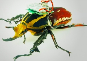 Scientists Have Found A Way To Turn A Beetle Into A Remote-Controlled Helicopter