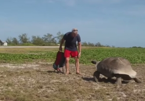 Watch This Tortoise Slowly Chase The Man Who Interrupted His Sexy Time