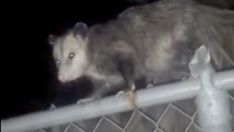 Listen To This Guy Talk Smack To An Opossum: 'I'd Knock Your Ass Out'