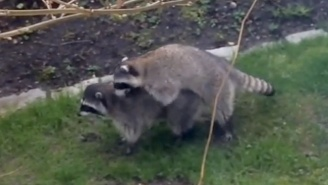 These Giggling Young Kids Have No Idea What To Make Of Two Humping Raccoons