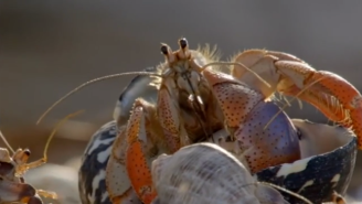 Watch This Mezmerizing Video Of Hermit Crabs Swapping Shells