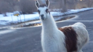 A Llama And Goat Were Randomly Seen Walking The Streets Of A Small New York Town