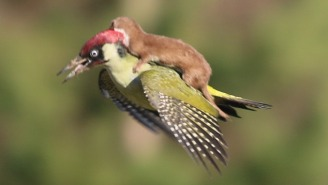 This Incredible Photo Of A Weasel Riding A Woodpecker Isn't As Uplifting As It Seems