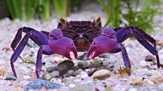 NOPE: Newly Discovered Species Of Vampire Crabs Might Already Live In Your Home