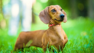 This Brilliant Criminal Was Caught After Leaving His ID-Tagged Wiener Dog At The Scene Of The Crime