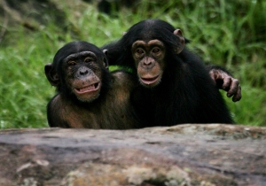 A New York Court Just Recognized Two Chimpanzees As Legal Persons