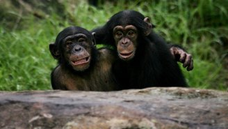 Wild Chimpanzees Have Learned How To Fish, Will Probably Take Up Shooting Next