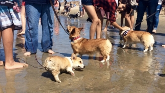 Over 600 Corgis Invaded A Beach In California This Weekend