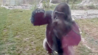 Watch This Furious Silverback Gorilla Smash The Glass At The Omaha Zoo (UPDATE)