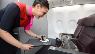 Stop Everything Right Now Because These Koalas Are Riding On An Airplane