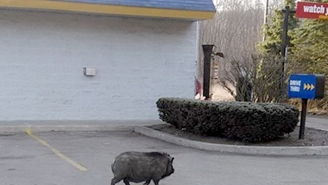 An Escaped Pig Wreaked Havoc At A Pennsylvania Burger King And Bit A Customer