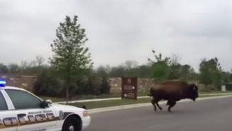Here's Video Of A Buffalo Being Chased By Police In Texas