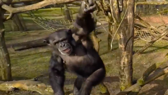 Watch This Hero Chimp Use A Giant Stick To Knock A Drone Out Of The Sky