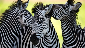 Three Zebras Led The Police On A High-Speed Chase