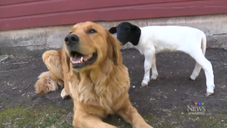 A Golden Retriever Named Tammy Adopted An Abandoned Baby Lamb