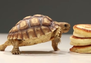 Watch These Tiny Turtles Eat Pancakes And Try Not To Explode Your Heart
