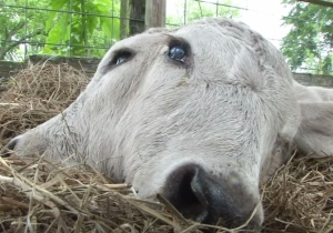 No, You're Not Seeing Double, This Florida Cow Was Born With Two Faces