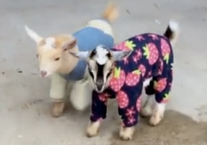 Who Wants To Watch A Couple Of Cute Baby Goats Bounce Around In Pajamas?