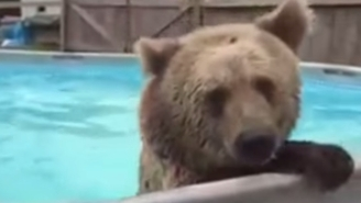 Watch This Bear Belly Flop Into A Pool And Win Summer