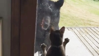 Watch This Pissed Off Housecat Scare The Living Hell Out Of A Bear