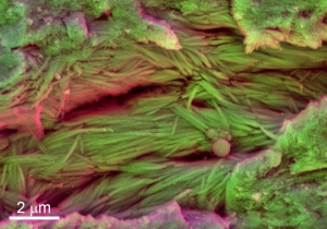 Dinosaur Blood Cells Have Been Recovered From Fossils