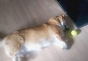 This Sad, Lazy Corgi's Legs Are Too Short To Reach The Tennis Ball