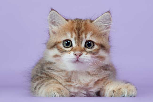 Cute Kitten Pink Background