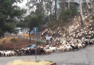 Watch These Hungry Goats Voraciously Stampede Their Way To Dinner