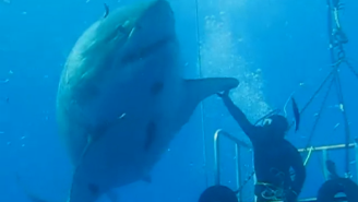 Watch This Diver Leave His Cage To High-Five A Massive Great White Shark