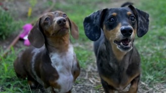 You Haven't Seen True Horror Until You've Seen 'Jurassic World' Recreated With Wiener Dogs