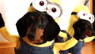 And Now, Two Dachshunds Running Around Dressed As Minions